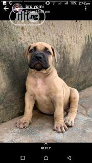 Young Female Purebred Boerboel | Dogs & Puppies for sale in Lagos State, Shomolu