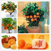 Bonsai Orange Seeds | Feeds, Supplements & Seeds for sale in Lagos State, Agege