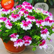 Two-color Red White Univalve Geranium Bonsai Seeds | Feeds, Supplements & Seeds for sale in Lagos State, Agege