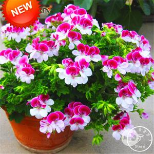 Two-color Red White Univalve Geranium Bonsai Seeds