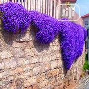 Thyme Bonsai Flower Seeds   Feeds, Supplements & Seeds for sale in Lagos State, Agege