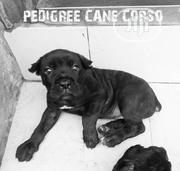 Baby Male Purebred Cane Corso | Dogs & Puppies for sale in Lagos State, Agege