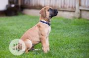 Baby Male Purebred Boerboel | Dogs & Puppies for sale in Lagos State, Alimosho
