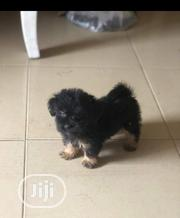 Baby Female Purebred Lhasa Apso | Dogs & Puppies for sale in Lagos State, Oshodi-Isolo