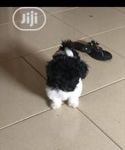 Baby Female Purebred Lhasa Apso | Dogs & Puppies for sale in Lagos State, Shomolu