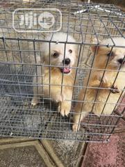 Baby Female Purebred American Eskimo Dog | Dogs & Puppies for sale in Oyo State, Ibadan South West