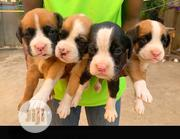 Baby Male Purebred Boxer | Dogs & Puppies for sale in Abuja (FCT) State, Gwarinpa