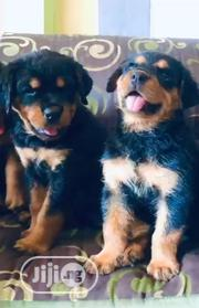 Baby Male Purebred Rottweiler | Dogs & Puppies for sale in Abuja (FCT) State, Nyanya