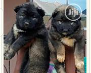 Baby Female Purebred Caucasian Shepherd Dog | Dogs & Puppies for sale in Abuja (FCT) State, Nyanya