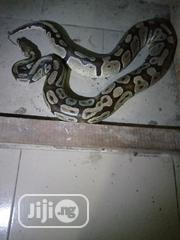 Ball Python For Sale | Reptiles for sale in Delta State, Ughelli North