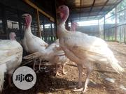 Turkey And Broilers | Livestock & Poultry for sale in Edo State, Ikpoba-Okha