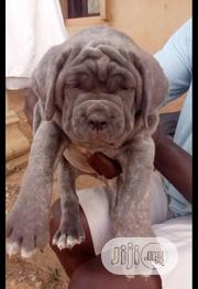 Baby Female Purebred Neapolitan Mastiff | Dogs & Puppies for sale in Lagos State, Shomolu