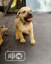 Baby Female Purebred Boerboel | Dogs & Puppies for sale in Oyo State, Ogbomosho North
