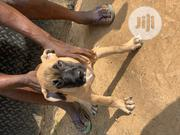 Young Female Purebred Boerboel | Dogs & Puppies for sale in Ondo State, Akure South