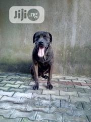 Young Male Purebred Boerboel | Dogs & Puppies for sale in Lagos State, Amuwo-Odofin