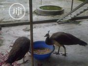 Peacocks For Sale | Birds for sale in Lagos State, Lagos Mainland