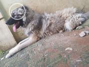 Adult Male Purebred Caucasian Shepherd Dog | Dogs & Puppies for sale in Edo State, Ikpoba-Okha