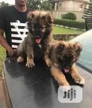 Baby Female Purebred Caucasian Shepherd Dog | Dogs & Puppies for sale in Lagos State, Magodo