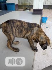 Young Male Mixed Breed Boerboel | Dogs & Puppies for sale in Edo State, Ovia North East