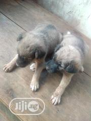 Baby Female Purebred German Shepherd Dog | Dogs & Puppies for sale in Edo State, Ekpoma