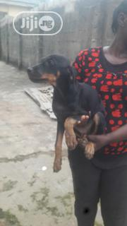 Baby Female Purebred Doberman Pinscher | Dogs & Puppies for sale in Lagos State, Lagos Mainland