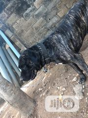 Adult Male Purebred Boerboel | Dogs & Puppies for sale in Oyo State, Ibadan South West