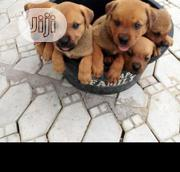 Baby Female Purebred Boerboel | Dogs & Puppies for sale in Lagos State, Kosofe
