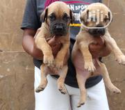 Young Female Purebred Boerboel | Dogs & Puppies for sale in Oyo State, Ibadan North East