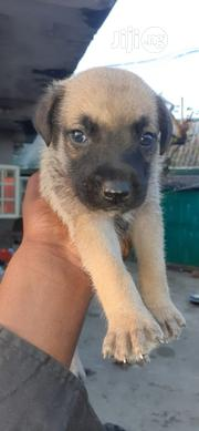 Baby Male Mixed Breed Boerboel | Dogs & Puppies for sale in Rivers State, Port-Harcourt