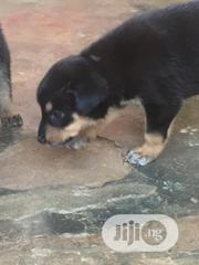 Young Male Purebred Rottweiler | Dogs & Puppies for sale in Ogun State, Ado-Odo/Ota