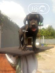 Young Male Purebred Cane Corso | Dogs & Puppies for sale in Edo State, Ovia North East