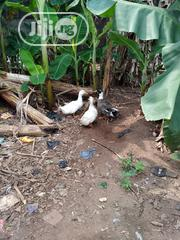 Sales Of Duck | Livestock & Poultry for sale in Lagos State, Ikorodu