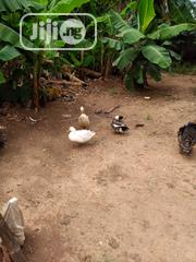 Healthy Duck For Sale | Livestock & Poultry for sale in Lagos State, Ikorodu
