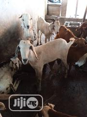 Healthy And Clean Live Or Butcher Goat For Sell | Livestock & Poultry for sale in Lagos State, Ikotun/Igando