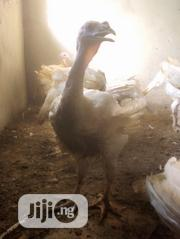 Exotic Imported Turkey | Livestock & Poultry for sale in Lagos State, Oshodi-Isolo
