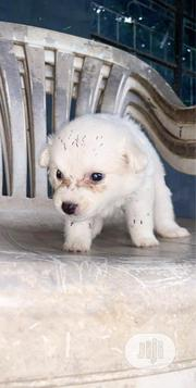 Baby Female Purebred American Eskimo Dog | Dogs & Puppies for sale in Lagos State, Surulere