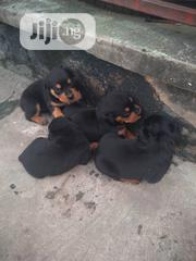 Baby Female Purebred Rottweiler | Dogs & Puppies for sale in Lagos State, Surulere