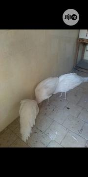 White Peacocks For Sale At Bonaza Prices | Birds for sale in Kaduna State, Zaria