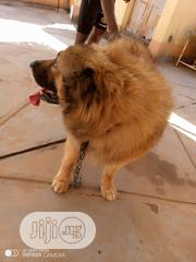 Young Male Purebred Caucasian Shepherd Dog | Dogs & Puppies for sale in Abuja (FCT) State, Kubwa