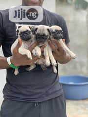 Young Female Purebred Pug | Dogs & Puppies for sale in Lagos State, Lagos Mainland