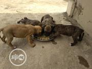 Baby Male Purebred Boerboel | Dogs & Puppies for sale in Oyo State, Ibadan South West