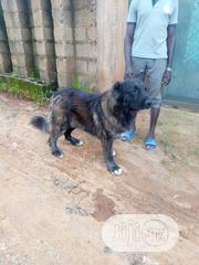 Adult Male Purebred Caucasian Shepherd Dog | Dogs & Puppies for sale in Lagos State, Badagry