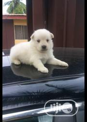 Baby Male Purebred Samoyed | Dogs & Puppies for sale in Lagos State, Ipaja