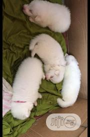 Baby Female Purebred Samoyed | Dogs & Puppies for sale in Lagos State, Oshodi-Isolo