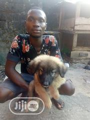Baby Female Mixed Breed Caucasian Shepherd Dog | Dogs & Puppies for sale in Rivers State, Oyigbo