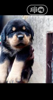 Baby Male Purebred Rottweiler | Dogs & Puppies for sale in Lagos State, Ipaja