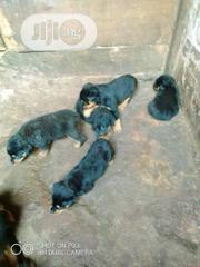 Baby Female Purebred Rottweiler | Dogs & Puppies for sale in Enugu State, Enugu North
