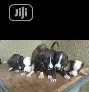 Baby Male Purebred American Pit Bull Terrier | Dogs & Puppies for sale in Lagos State, Shomolu