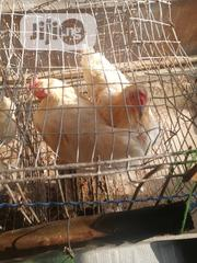 White Cockrel | Livestock & Poultry for sale in Lagos State, Ikorodu