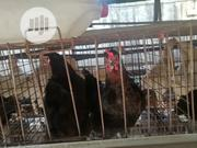 Old Layers | Livestock & Poultry for sale in Lagos State, Ikorodu